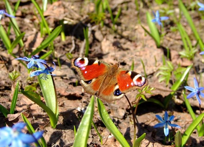 A Peacock Eye butterfly on a flower