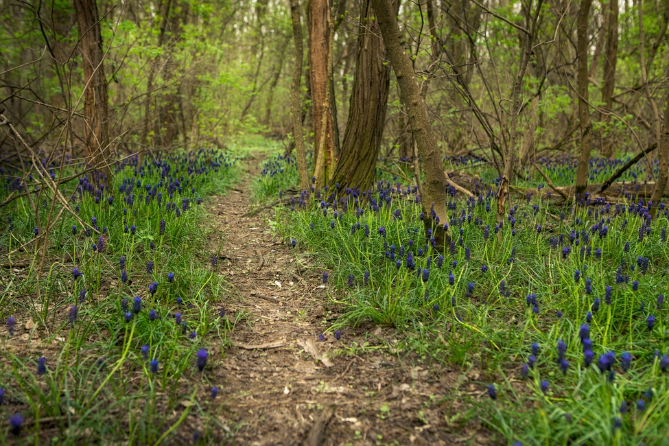 Hyacinths in the forest with bright violet paints
