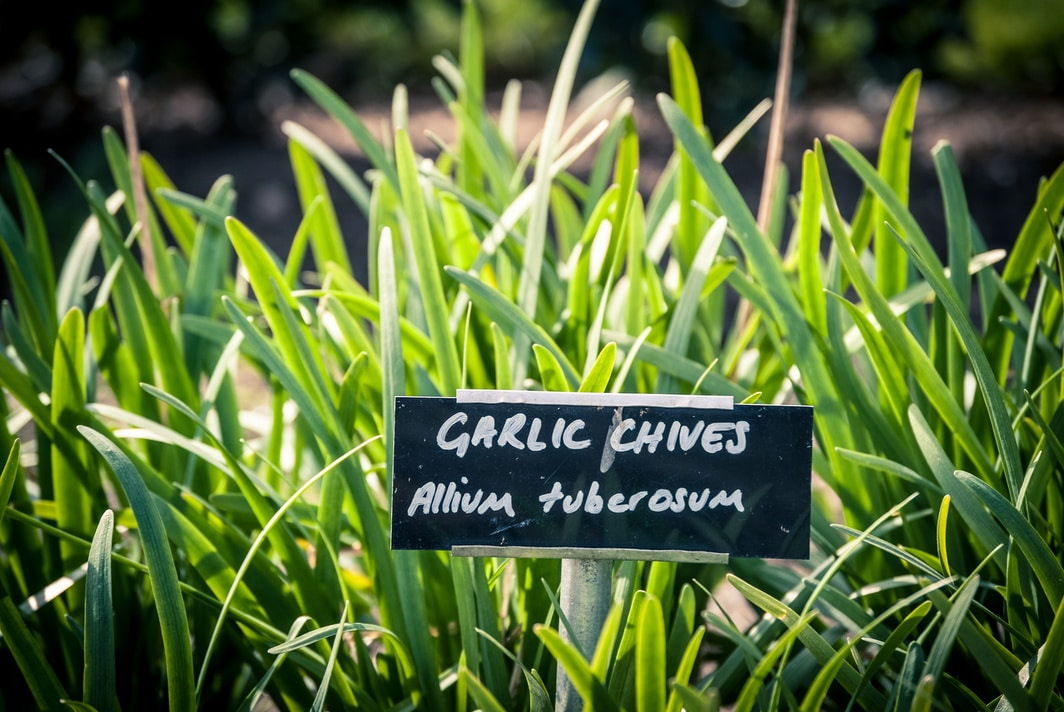 garlic chives (allium tuberosum) growing in a garden