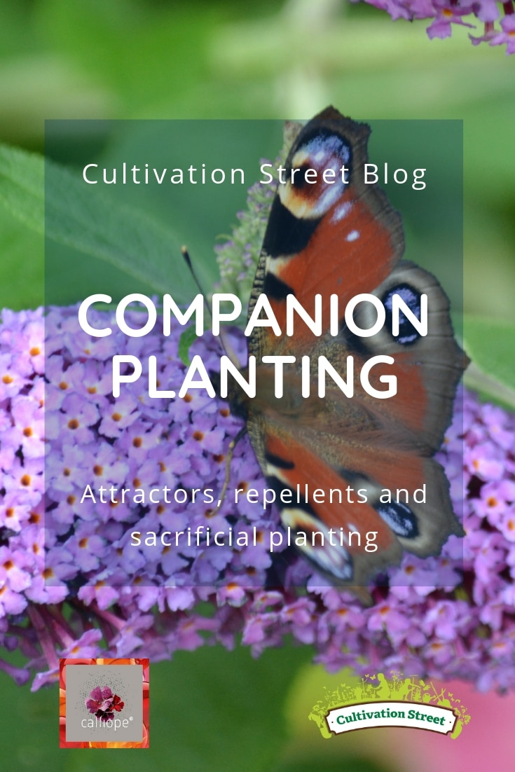Cultivation Street Blog on companion planting, using attractors, repellents and sacrificial planting in your garden. Part of our CalliopeMyLife series of blogs