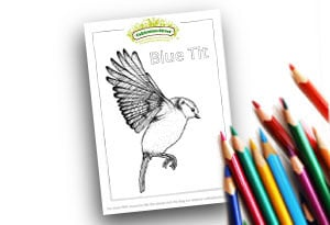Blue Tit Feature Image Colouring page Cultivation Street (1)