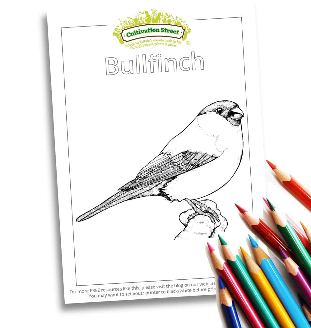 Bullfinch Body-Image- Colouring Page Cultivation-Street