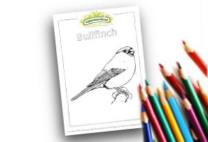 Bullfinch Feature Image Colouring page Cultivation Street (1)
