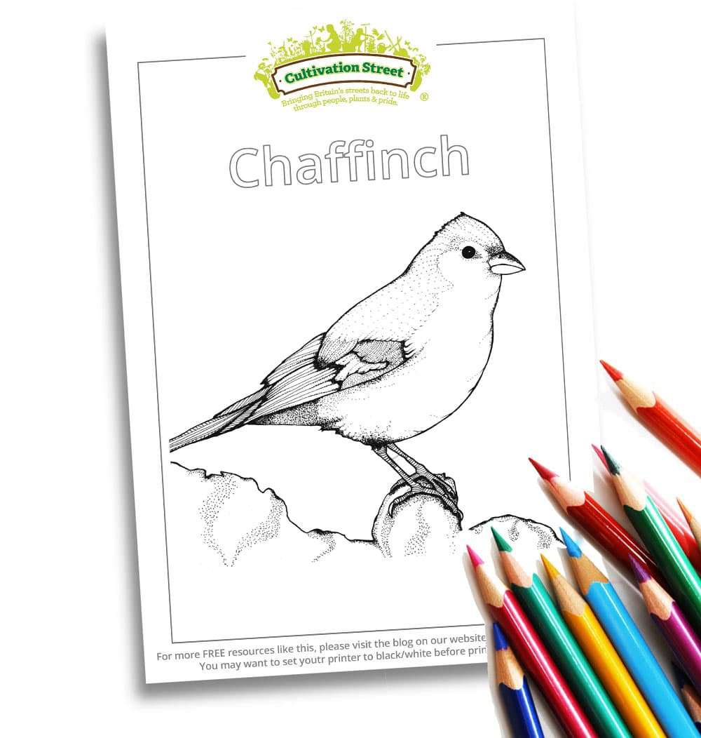 Chaffinch Body-Image- Colouring Page Cultivation-Street
