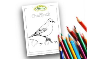 Chaffinch Feature Image Colouring page Cultivation Street (1)