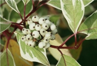White berries and variagated leaves of Cornus Dogwood