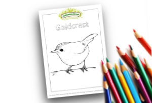 Goldcrest Feature Image Colouring page Cultivation Street (1)