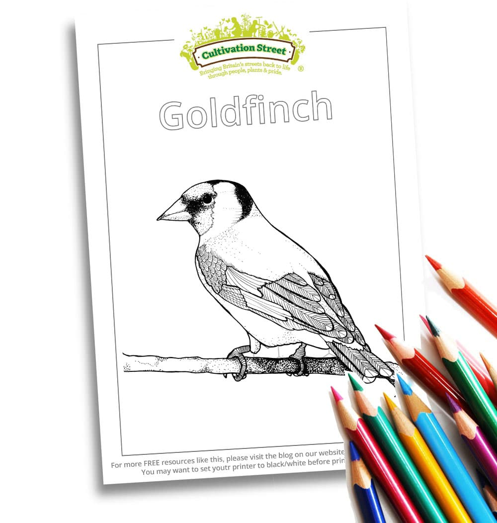 Goldfinch Body-Image- Colouring Page Cultivation-Street