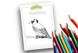 Goldfinch Feature Image Colouring page Cultivation Street (1)