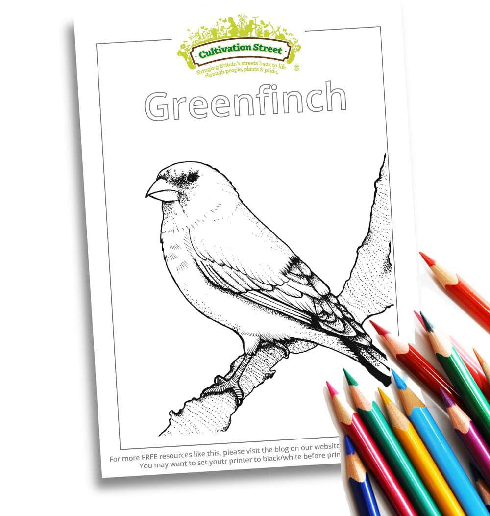 Greenfinch Body-Image- Colouring Page Cultivation-Street