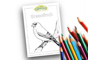 Greenfinch Feature Image Colouring page Cultivation Street (1)