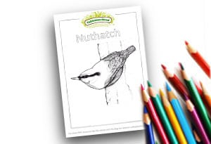 Nuthatch Feature Image Colouring page Cultivation Street (1)
