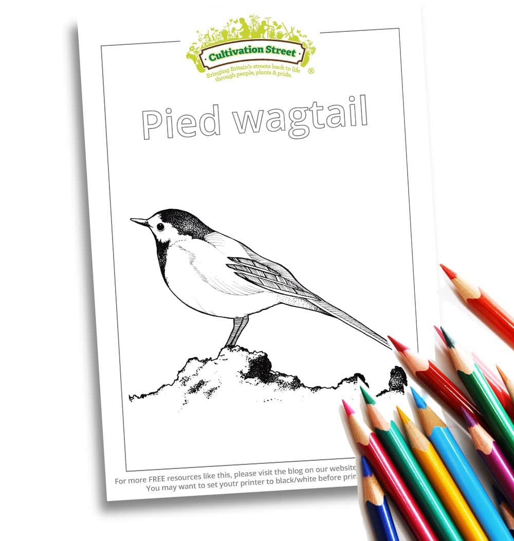 Pied Wagtail Body-Image- Colouring Page Cultivation-Street