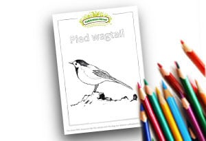 Pied Wagtail Feature Image Colouring page Cultivation Street (1)