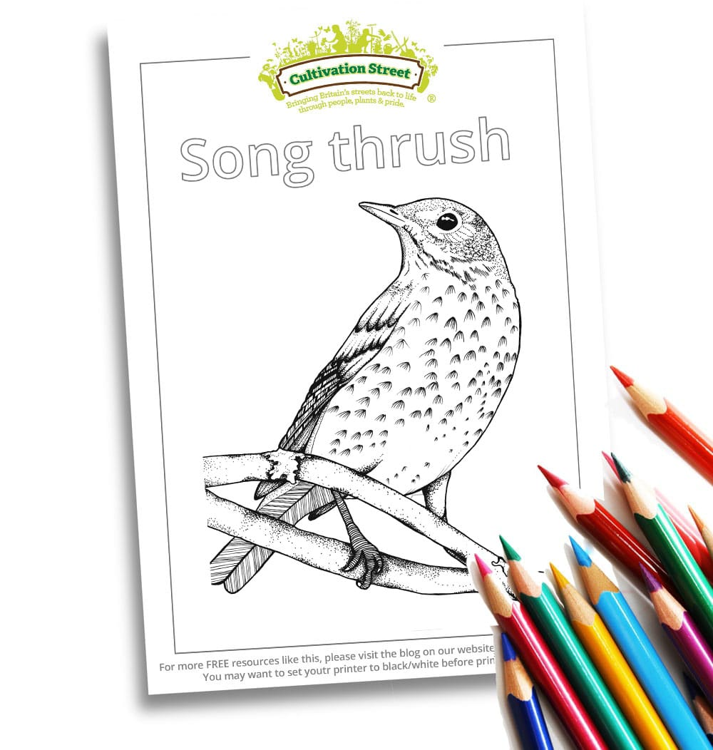 Song Thrush Body-Image- Colouring Page Cultivation-Street