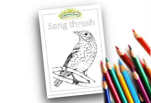 Song Thrush Feature Image Colouring page Cultivation Street (1)