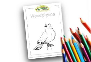 Woodpigeon Feature Image Colouring page Cultivation Street (1)