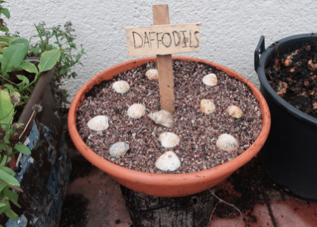 pot of planted daffodil bulbs