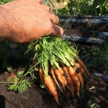 Bunch of carrots being pulled from the soil