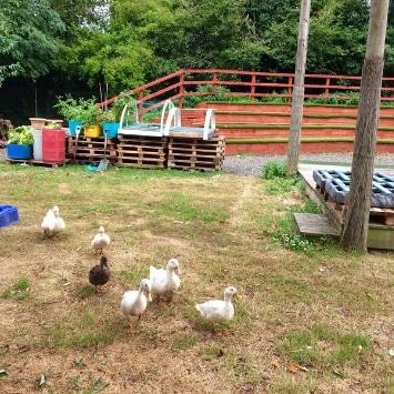 white ducks and mallard walking through Northgate school garden
