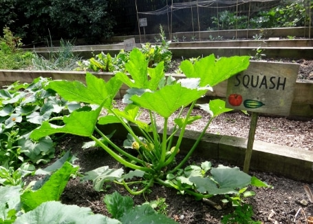 Squashes in Tinsley Allotment, Shortlisted in the 2018 Cultivation Street Competition in Communities and Calliope Colour My Life
