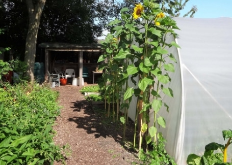 Sunflowers at Tinsley Allotment, Shortlisted in the 2018 Cultivation Street Competition in Communities and Calliope Colour My Life