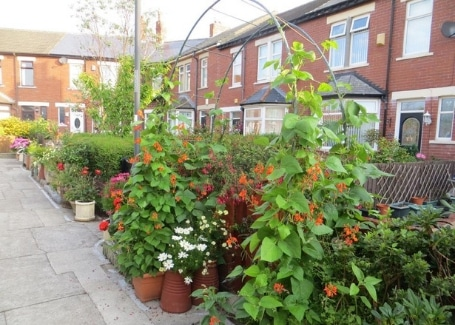 Rockcliffe Avenue Community Front Gardens, climbing runner beans
