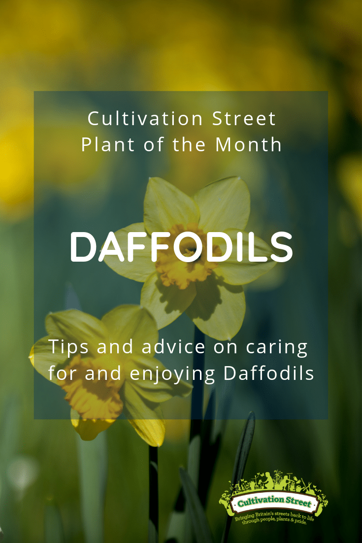 Cultivation Street Plant of the Month Daffodils Pinterest Pin tips and advice on caring for enjoying Daffodils