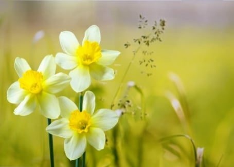 Cultivation Street Plant of the month Daffodils