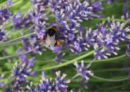 Lavendar is great smelling and brilliant for bees