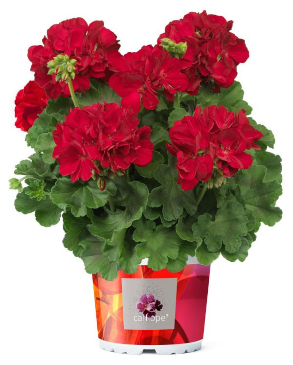 Stunning red Calliope Geraniums