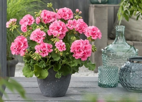 Choose good size pots to plant geraniums in