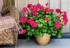 Cultivation Street Blog with Calliope Flowers, tips for planting in containers & hanging baskets