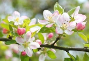 Cultivation Street Plant of the Month, Blossom Trees, Enjoying & caring for blossom trees
