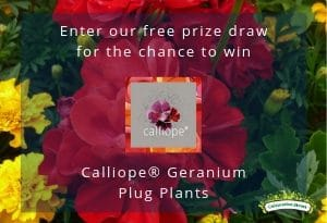 Cultivation Street's free prize draw for the chance to win Calliope® Geranium Plug Plants