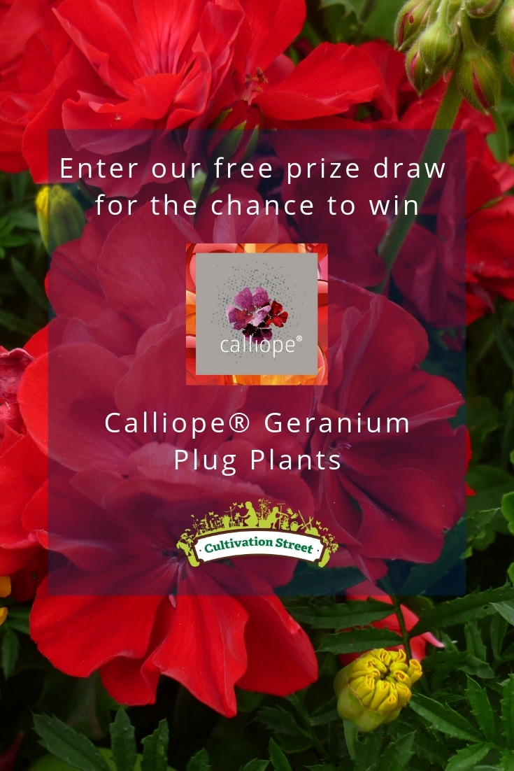 Enter the Cultivation Street free prize draw for the chance to win Calliope® Geranium Plug Plants
