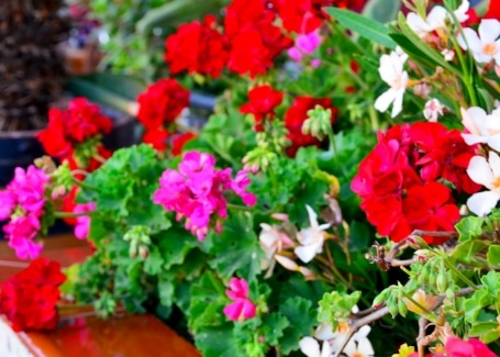 Feed geraniums to ensure their flowers are colourful