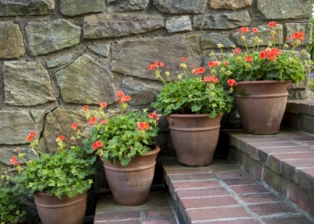 Geraniums planted in pots will benefit from compost