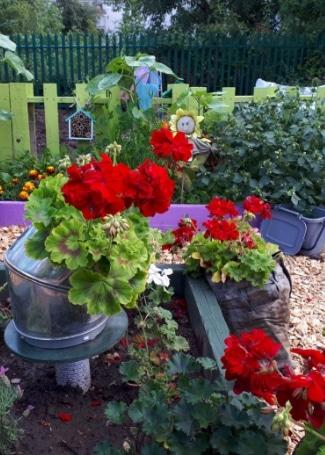 Includeme2 Allotment Angels Cultivation Street Garden's Calliope Geranium display
