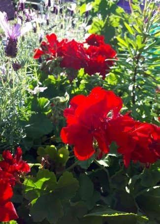 Includeme2 Allotment Angels Cultivation Street Garden's Calliope Geranium