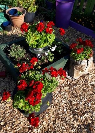 Includeme2 Allotment Angels Cultivation Street Garden's Calliope Geraniums