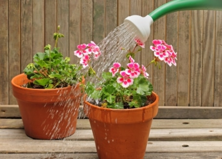 Keep geranium roots damp in containers