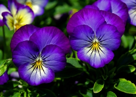 Cultivation Street plant for May, the pansy, available in a stunning range of vibrant colours