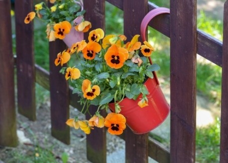 Cultivation Street plant for May, the pansy, happily planted in containers and hanging baskets