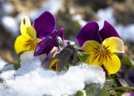 Cultivation Street plant for May, the pansy, hardy enough to withstand some snow and frost