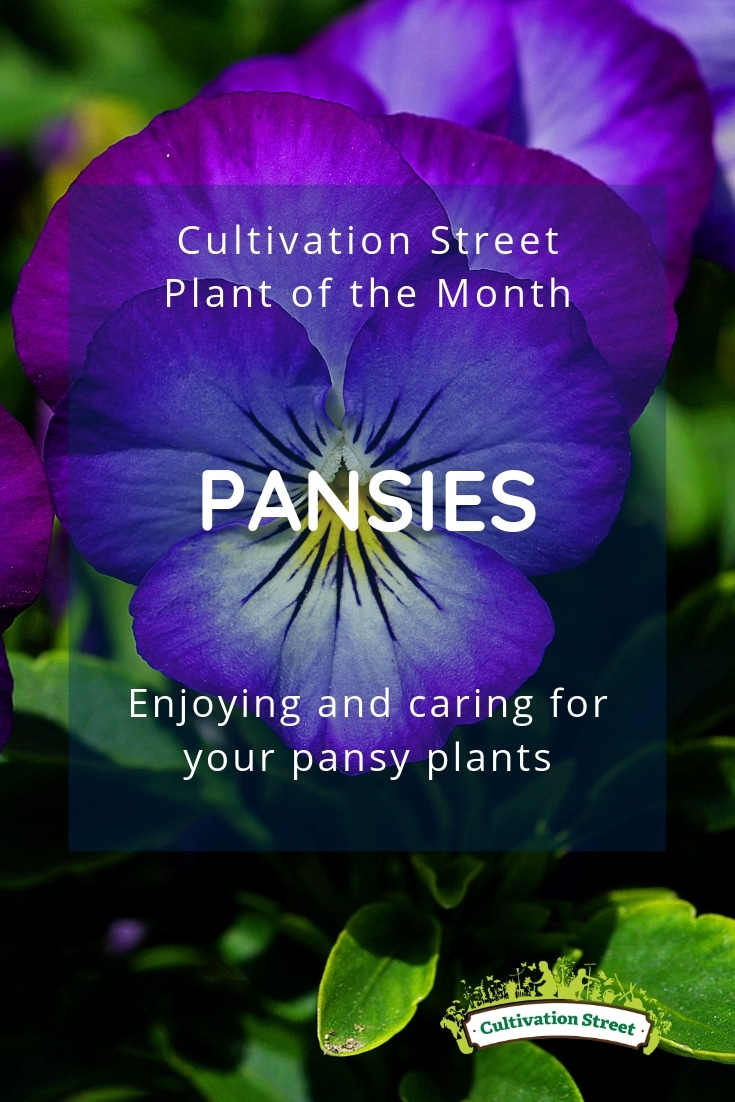 Cultivation Street plant of the month of May, pansies, enjoying and caring for your pansy plants