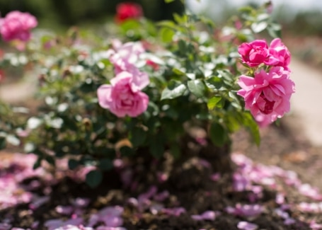 Cultivation Street quirky tips on caring for roses, avoid overcrowding