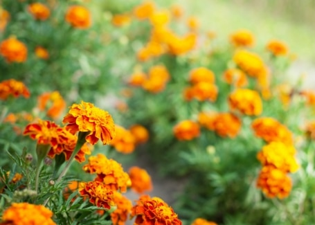 Cultivation Street quirky tips on caring for roses, surround with marigolds