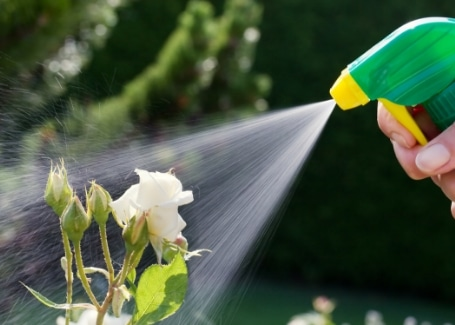 Cultivation Street quirky tips on caring for roses, vinegar spray