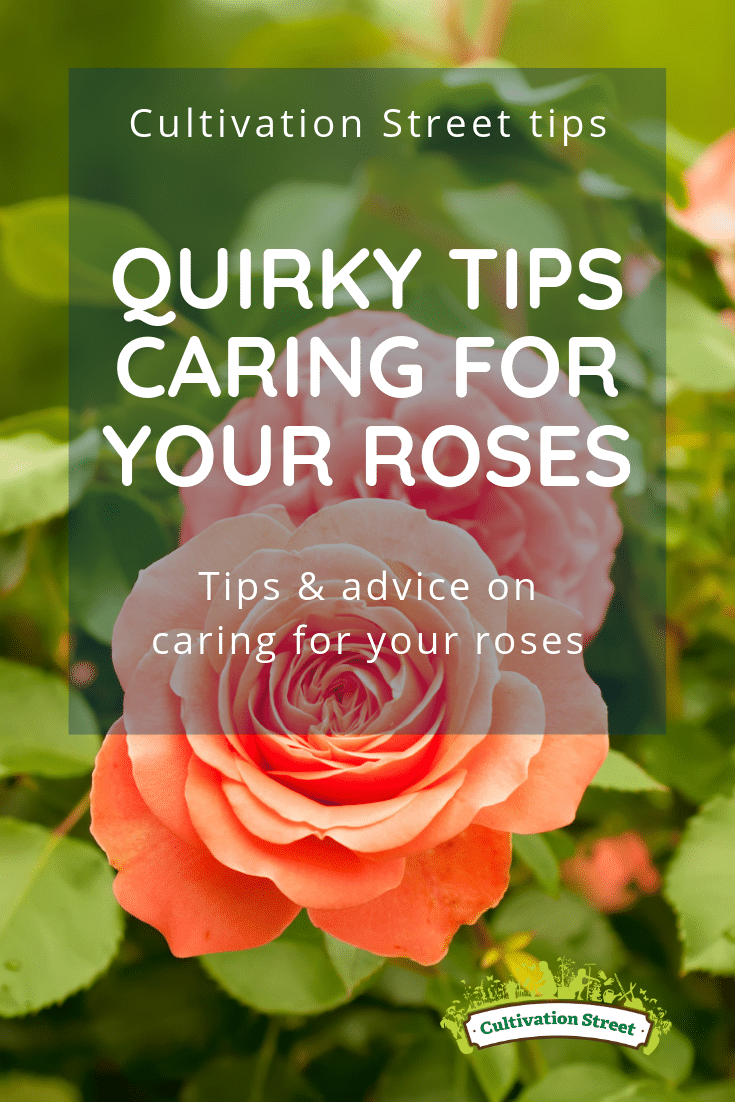 Cultivation Street tips, quirky tips on c aring for your roses, tips and advice on caring for your roses